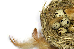 Quail's eggs in a nest on white background. With copyspace Royalty Free Stock Images