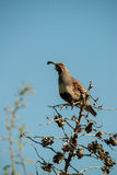 Quail Scout Royalty Free Stock Images