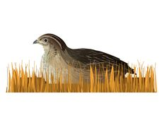 Quail sitting in the dry grass stock illustration