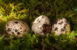 Quail spotted eggs in green moss stock images
