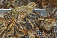 Quail. Two-day baby birds of the Japanese quail Stock Image