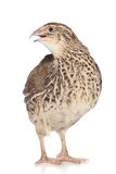 Quail on a white background stock image