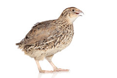 Quail on white background Royalty Free Stock Images