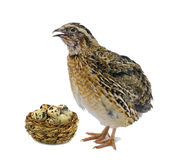 Quail and wooden basket with eggs isolated on white background Stock Photos