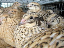 Quails Stock Photography