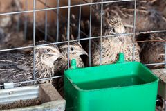 Quails Royalty Free Stock Photos