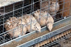 Quails Royalty Free Stock Photography