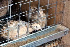 Quails Stock Photo