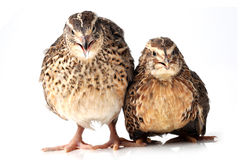 Quails Royalty Free Stock Photo