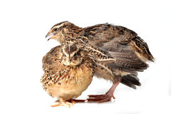 Quails Stock Photos