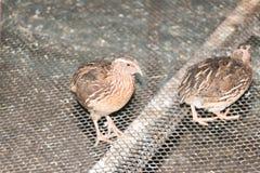quails Arkivbild