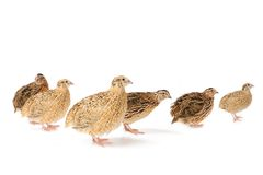 Quails Stock Image