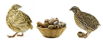 Quails and basket with eggs isolated on white Royalty Free Stock Images