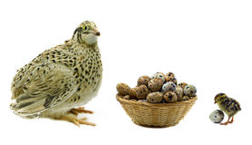 Quails and basket with eggs on white Stock Image