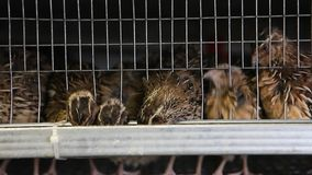 Quails in cages at poultry farm stock footage