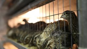Quails in cages at poultry farm stock video