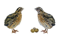 Quails with eggs  isolated on white background Stock Images