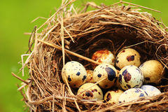 Quails Eggs in a nest  on grass background. Spotted Quails Eggs in a nest  on grass background Royalty Free Stock Photos