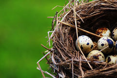 Quails Eggs in a nest  on grass background. Spotted Quails Eggs in a nest  on grass background Stock Images