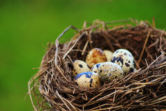 Quails Eggs in a nest on green background Stock Photo