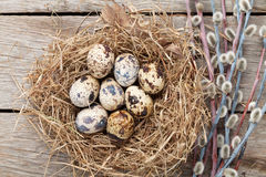 Quails eggs in nest Royalty Free Stock Image