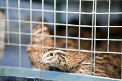 Quails Royalty Free Stock Image