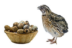 Quails and their eggs Royalty Free Stock Images
