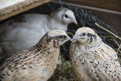 Quails. Three quails in their chicken run Stock Image