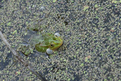 Quake Frog Stock Photos