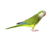 Quaker Parrot. Looking Up Stock Image