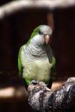 Quaker parrot Photographie stock libre de droits
