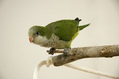 Quaker Parrot. Young Quaker Parrot Sitting on a Tree Perch Royalty Free Stock Image