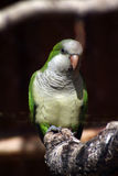 Quaker parrot Royalty Free Stock Photography