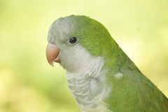Quaker Parrot close up profile Royalty Free Stock Photos