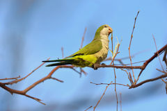 Quaker Parrot Royalty Free Stock Photo