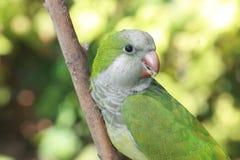 Quaker Parrot regarder Image libre de droits