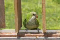 Quaker Parrot sur la barrière Image libre de droits