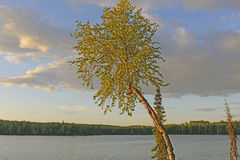Quaking Aspen in the Evening Light Royalty Free Stock Photos