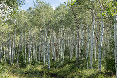 Quaking aspen grove Royalty Free Stock Photography