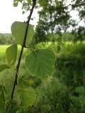 Quaking aspen leaf royalty free stock photo