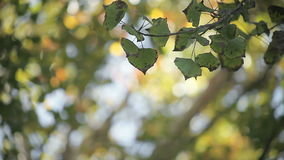 Quaking aspen leaves in autumn. Leaves in late October with bokeh of autumn colors in the background stock video