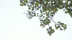 Quaking aspen leaves with copy space stock footage