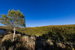 Quaking Aspen in the mountains. This photo was taken near Currant Creek Reservoir and is of a Quaking Aspen and the surrounding forest Royalty Free Stock Photography