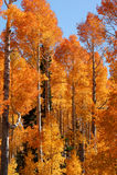 Quaking Aspen. (Populus  tremuloides) Cedar Breaks Utah USA in autumn colors Royalty Free Stock Image