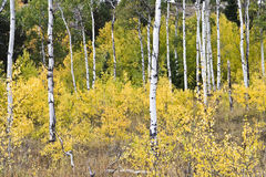 Quaking Aspen trees Royalty Free Stock Images