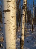 Quaking Aspen Trunks Royalty Free Stock Photos