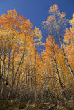 Quaking Aspens Against Sky Stock Images