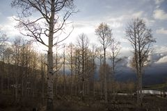 Quaking Aspens at Evening. Grove of Quaking Aspen trees in mountains near Heber City, Utah in the early Spring Royalty Free Stock Image