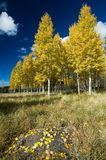 Quaking Aspens and Leaf Litter. A large rock is covered by autumn leaf litter fallen from nearby aspens Stock Photo