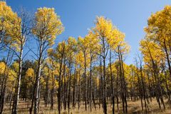 Quaking Aspens Populus tremuloides changing color in the Fall, Williams, Arizona stock image